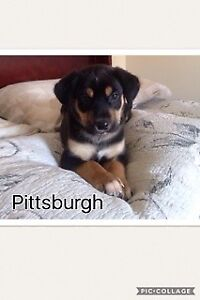 Paws for Love dog rescue has a 8 week mix breed for adoption
