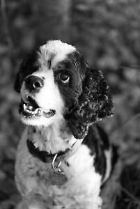 Cody - Cocker Spaniel (looking for parents or breeder)