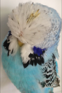 Budgies - Quality Club Rung Adult & Young Birds Ascot Belmont Area Preview