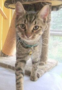 "CAPS kitten ""Mary Ellen"" 6 mths, spayed, vaccines, microchip"