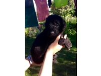 Black Labradoodle Puppies ready to go to new homes on 13th September