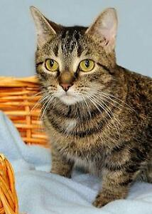 """Young Female Cat - Tabby - Brown: """"Rosie"""""""