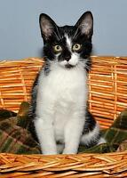 "Baby Female Cat - Domestic Short Hair-black and white: ""Panda"" Gatineau Ottawa / Gatineau Area Preview"