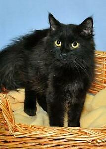 """Young Male Cat - Domestic Medium Hair-black: """"Tommy"""""""