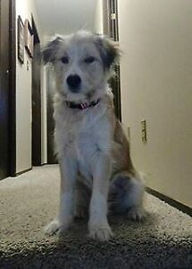 """Baby Female Dog - Wirehaired Terrier-Collie: """"Lily"""""""