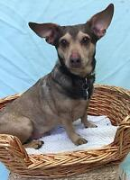"Adult Male Dog - Dachshund-Chihuahua: ""Skippy"" Ottawa Ottawa / Gatineau Area Preview"