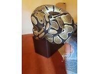 Royal python!