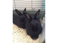 2 black Alaskan, English lop females with cage and extras