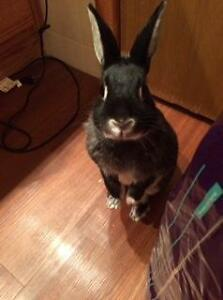 "Adult Female Rabbit - Silver Marten: ""Bunbun"" Cambridge Kitchener Area image 1"