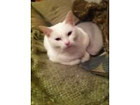 Lost little white cat in Leigh (Torquay Drive Area)