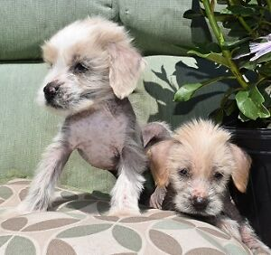 Chinese Crested puppy's, one male and one female