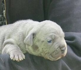 Blue Mini Bulldogs