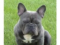 """LOST BLUE FRENCH BULLDOG BARNSLEY AREA ON COLLOR IT SAYS """"BYE BYE WOODERS"""""""