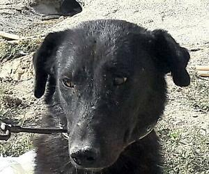 Young Female  - Black Labrador Retriever-Border Collie