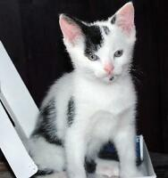 """Baby Male Cat - Domestic Short Hair-black and white: """"Paco"""""""