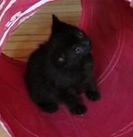 Baby Male  - Domestic Short Hair-black
