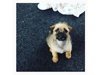 Pug Cross Puppy 6 months old £300 - READY NOW -