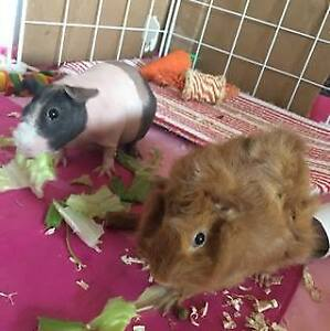 Guinea and skinny pig in need of a new home