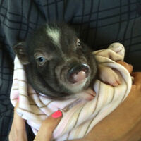 Cute Potebelly Pigs