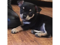 10 Week Old Male Chihuahua Puppy