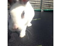 1 female rabbit 1 male (nueterd) rabbit with hutch and accesories