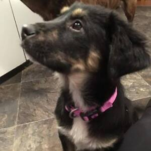 Paws for Love dog rescue has a 10 week shepherd mix for adoption