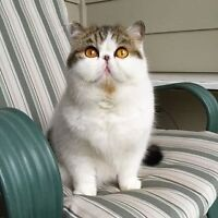 Looking for exotic shorthair cat or kitten