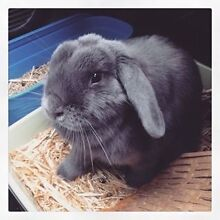 Bunny looking for temporary home for 12 months PLEASE READ! Deakin South Canberra Preview