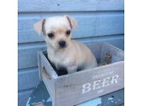 Beautiful Chihuahua girl ready now