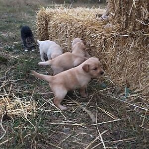 Purebred yellow lab/golden retriever puppies