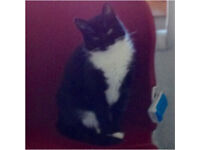 Missing our lovely girl Cleo black and white cat