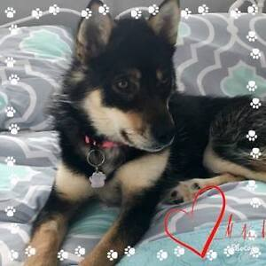 Paws for Love dog rescue has a 2 year old shep/husky female