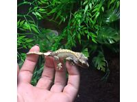 2 x baby crested geckos for sale plus set up