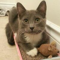 """Baby Male Cat - Domestic Short Hair - gray and white: """"Cedric"""""""