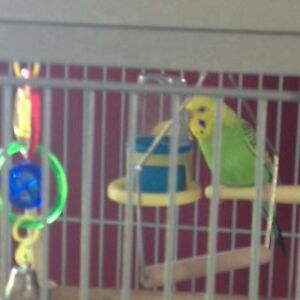 Male Budgie with 2 Cages & all accessories Kawartha Lakes Peterborough Area image 2