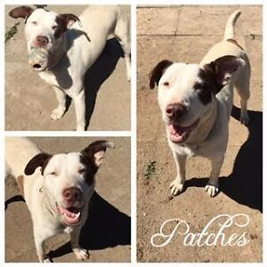 """Young Male Dog - Terrier-Labrador Retriever: """"Patches"""""""