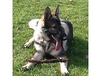 beautiful german shepherd pup