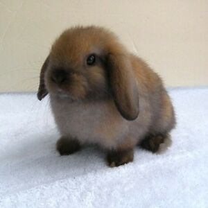 Sweetest baby Holland Lop Pure Bred cuties!