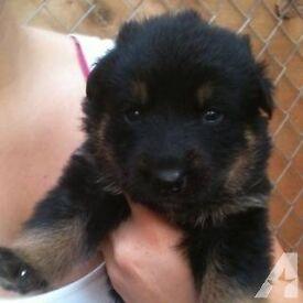 Rottweiler cross German Shepherd Puppies