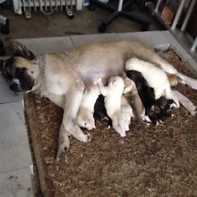Akita x Husky Sunnybank Brisbane South West Preview
