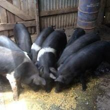 Pigs.... Saddle back Oakey Toowoomba Surrounds Preview