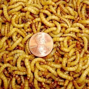 Live mealworms for sale, low price won't be beat !