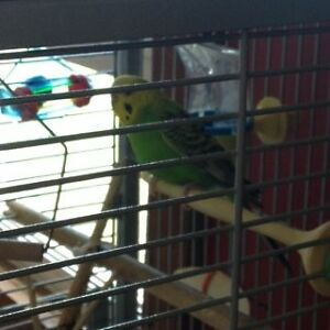 Male Budgie with 2 Cages & all accessories