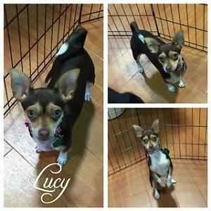 """Young Female Dog - Chihuahua-Rat Terrier: """"Lucy"""""""