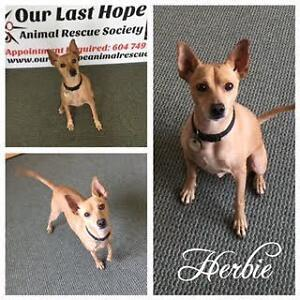 """Adult Male Dog - Chihuahua-Terrier: """"Herbie"""""""