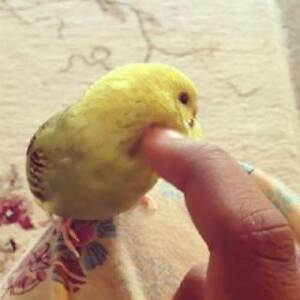 ~HANDRAISED BABY BUDGIES $50 EACH & OTHERS - YOUR X'MAS PRESENT~ Kenwick Gosnells Area Preview