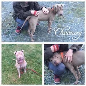 "Adult Male Dog - Shar Pei-Pit Bull Terrier: ""Chauncey"""