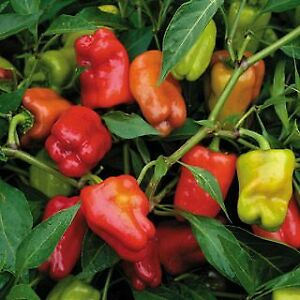 HOT AND SWEET PEPPER PLANTS AND MORE