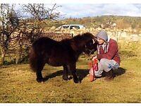 Registered Shetland Pony