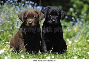 Wanting to buy - Black or Brown Labrador puppy Mandurah Mandurah Area Preview